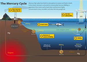How Mercury gets into Fish
